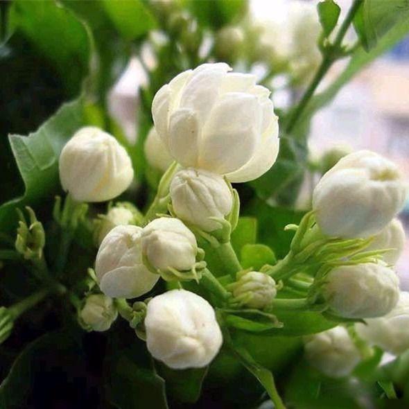 新品推出:茉莉花種子