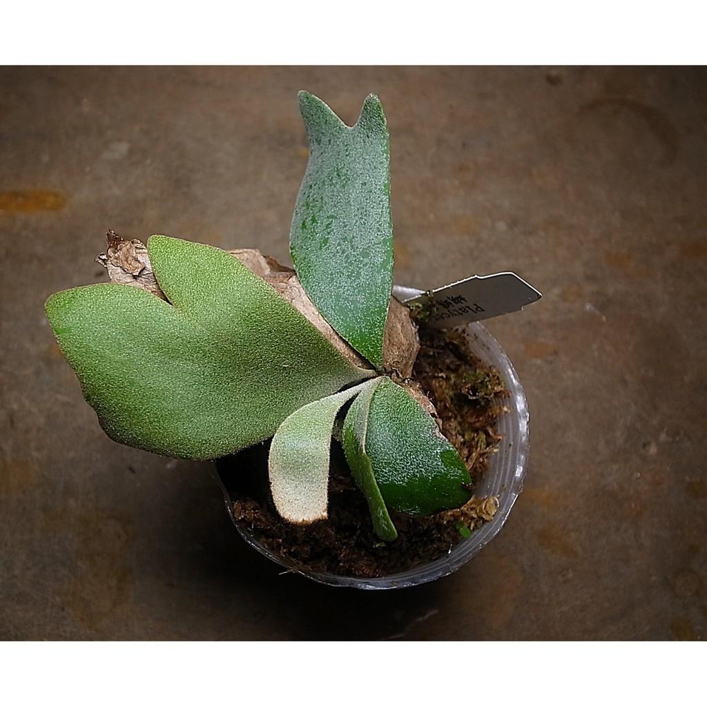 鹿角蕨  蝴蝶鹿角蕨  Platycerium wallichii 2.5吋盆 一物一拍