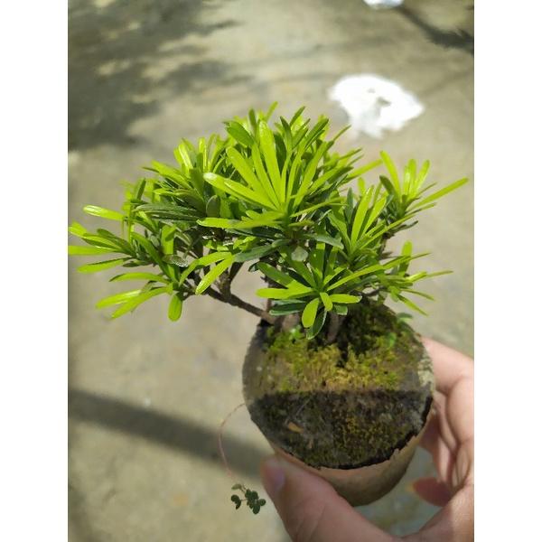 芳苑樹花苗繁殖農場  名稱:雀舌羅漢松