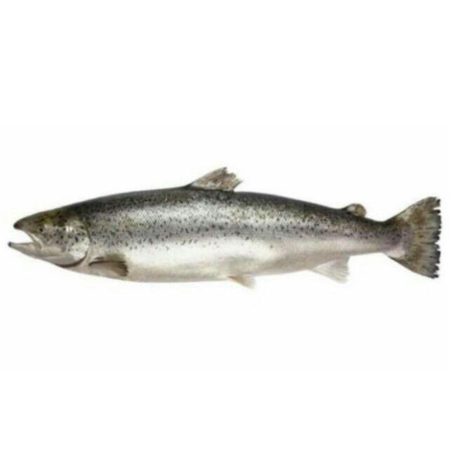 【超級大】大西洋鮭魚(整尾)