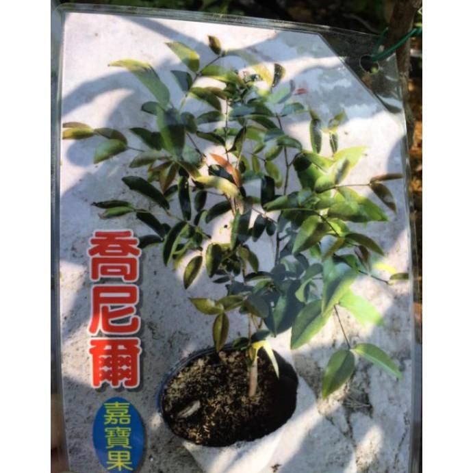 花囍園_水果苗— 喬尼爾樹葡萄--果實球形~美味可口/6吋高約30-40cm/售1425特價1415
