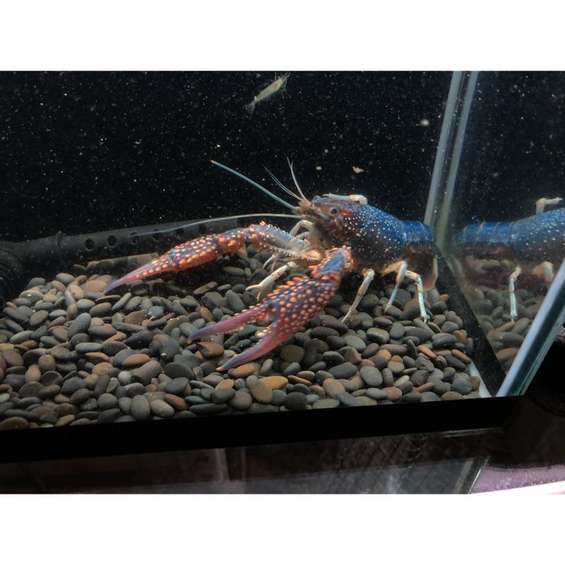 瘋蝦子Crazy shrimp 幽靈螯蝦/藍美螯