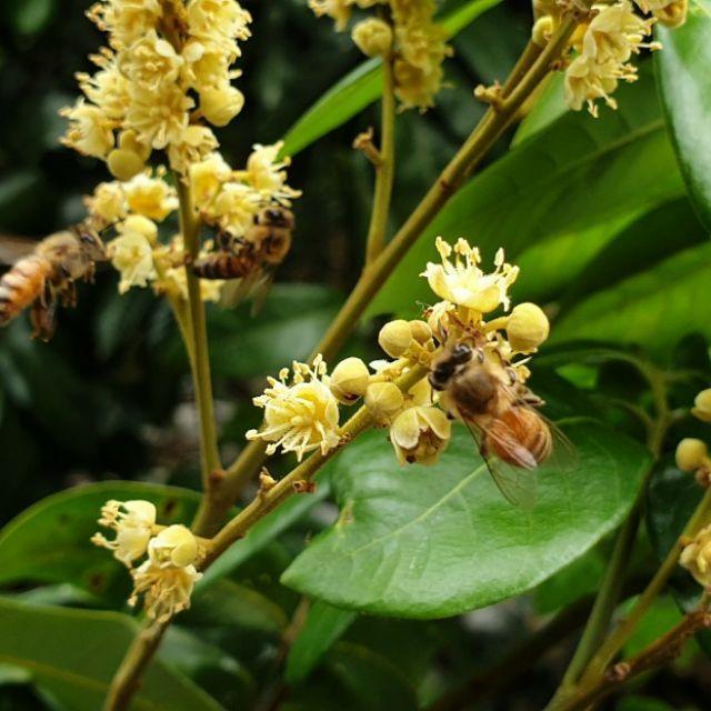 自家採收新鮮純天然蜂蜜(龍眼蜜/柚花蜜)