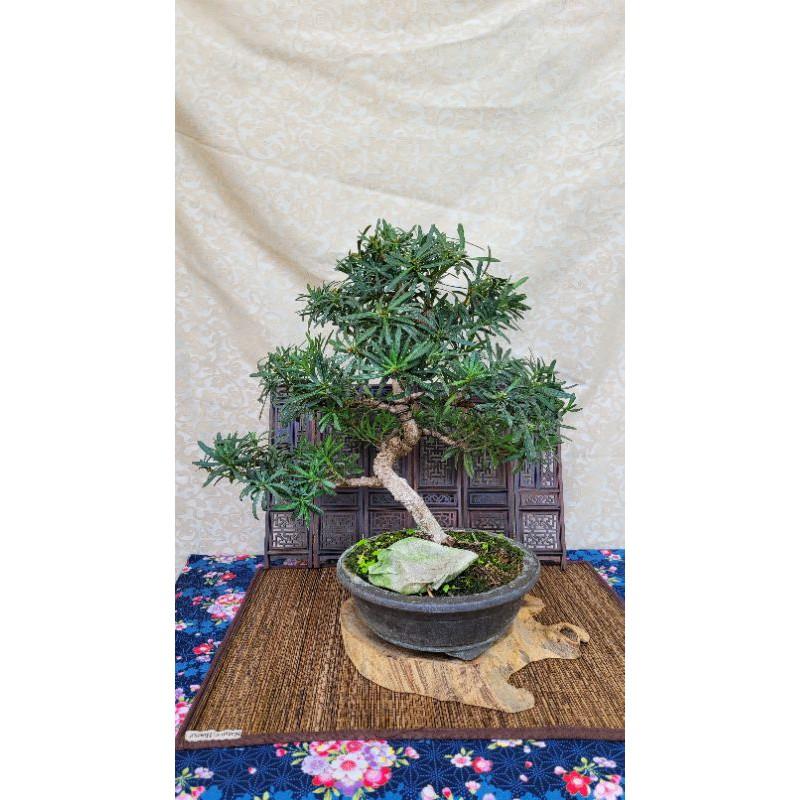 雅舍盆栽-雀舌羅漢松