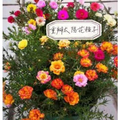 42種顏色 重辦太陽花 種子 太陽花種子 重辦 太陽花