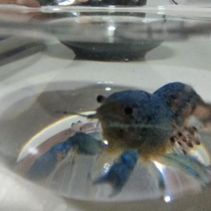 藍螯蝦/佛螯/佛羅里達螯蝦 仔蝦
