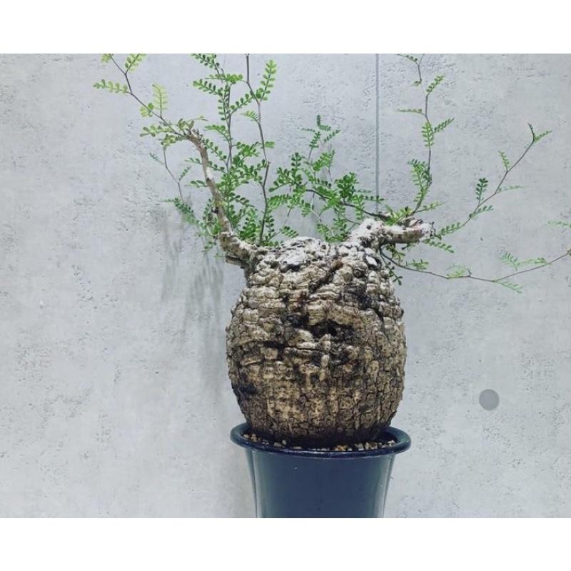 象足漆樹,珍稀塊根多肉植物種子(一顆裝,三顆裝,五顆裝)