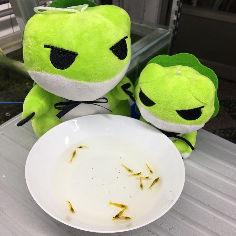 【Shrimp Fun! 養蝦趣】 觀賞蝦 魚  活餌 / 黃金米蝦/金背黃米