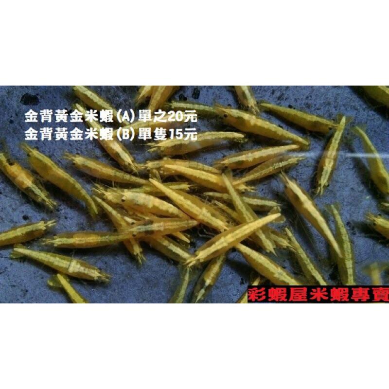 【彩蝦屋】金背黃金米蝦50隻特價組 龍魚高級活餌 觀賞蝦現貨供應