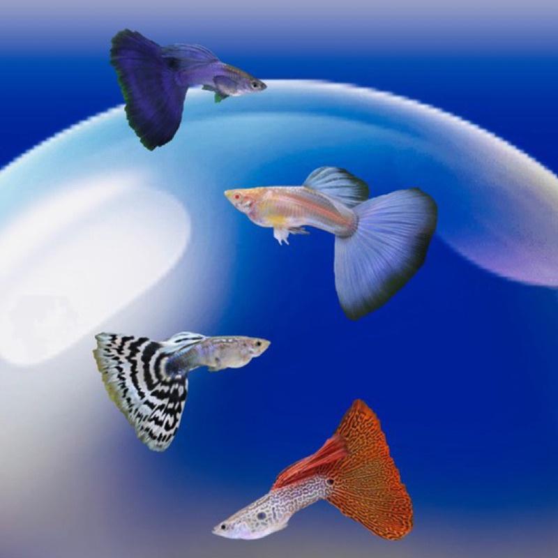 W水族🐠 純品系孔雀魚飼料~ 全紅白子 天空藍白子 馬賽克 黑木炭 藍尾禮服 黃尾禮服 緞帶 燕尾🔥🔥孔雀魚 系列 🔥🔥