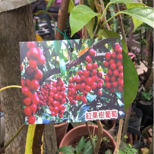 花囍園_水果苗—紅果樹葡萄--一串一串鮮紅色果實~傳統樹葡萄還大/4吋高約30-40cm/特價1600