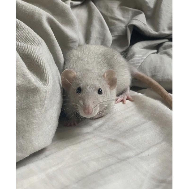倉鼠飼料 花枝鼠 免費領養 免費認養