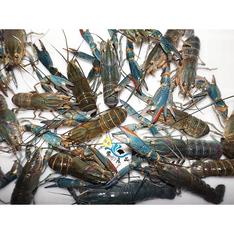 『金奇-鱉の產品』澳洲淡水龍蝦【活體宅配】8~12尾斤【現貨供應】