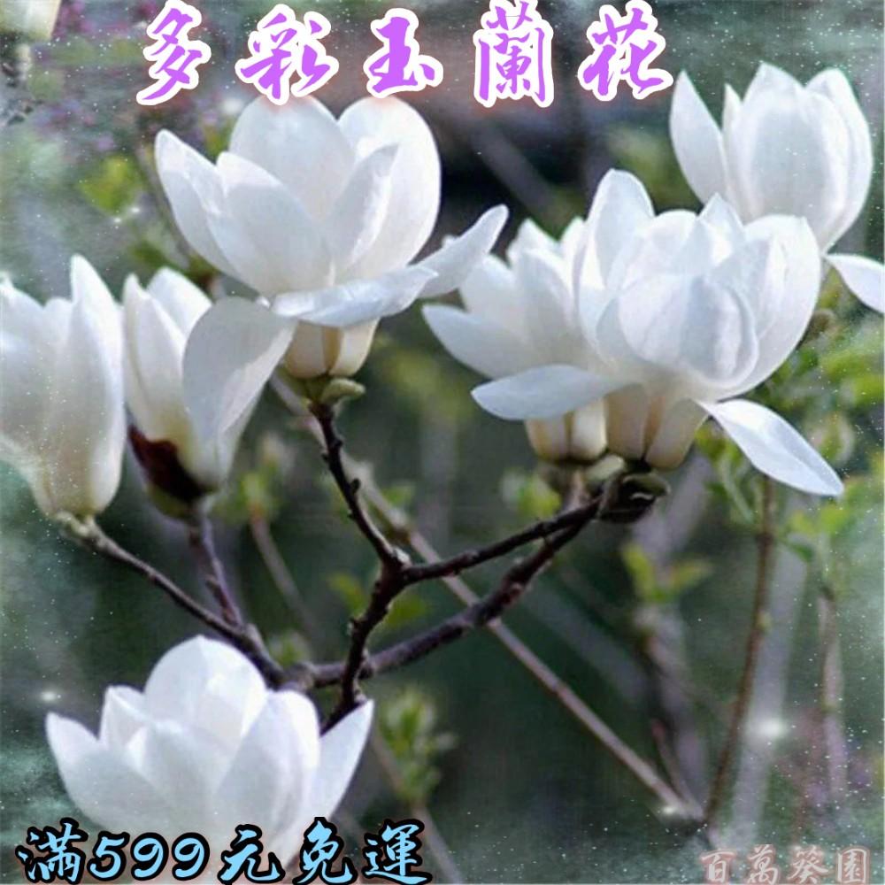 玉蘭花種子   紅白玉蘭#紫玉蘭#廣玉蘭#黃玉蘭   芳香花卉  四季播  易活 發芽率達99%
