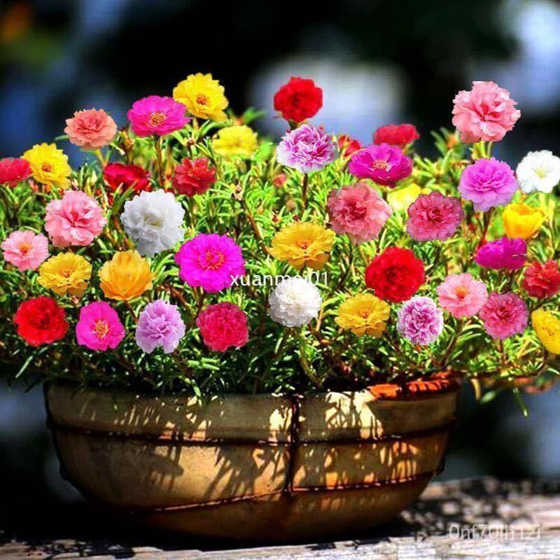 花卉種子 陸龜聖品 太陽花種子 重瓣混色 松葉牡丹 室內陽台盆栽花種子