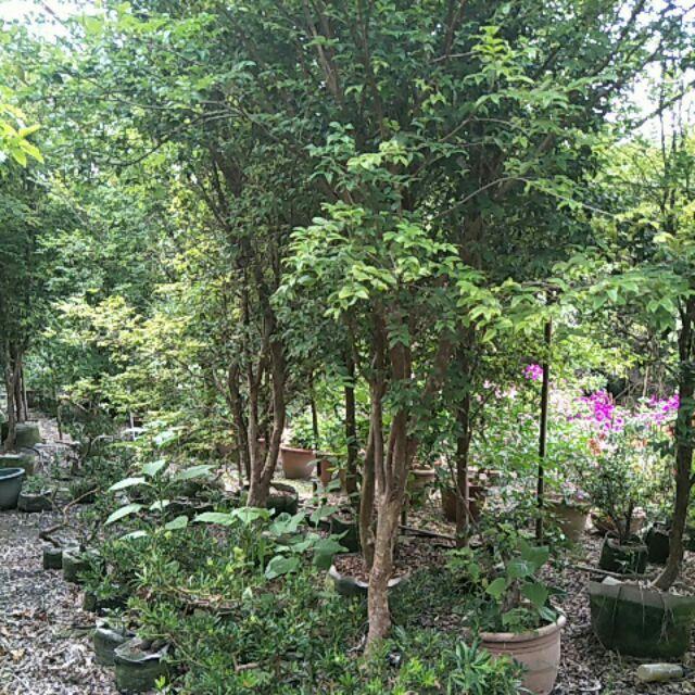 田尾名花植物果樹價格可議樹高200公分以上樹葡萄已會結果量多果實甜